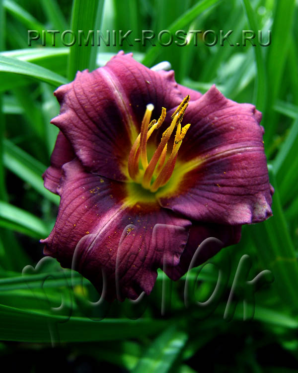 "Hemerocallis  ""Pawn of Prophecy"""