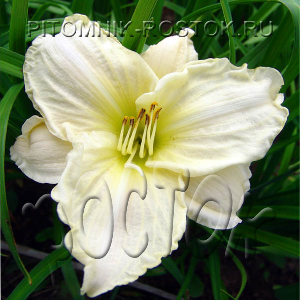 "Hemerocallis  "" Joan Senior"""