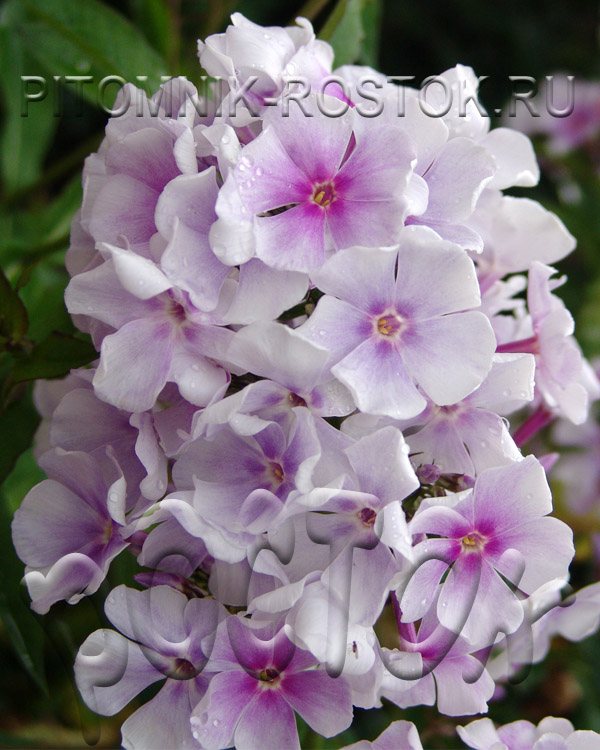 phlox paniculata Lavendel Wolke