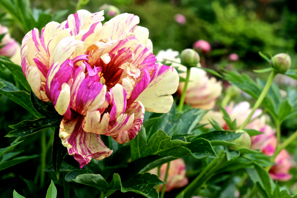 Paeonia Itoh Lollipop