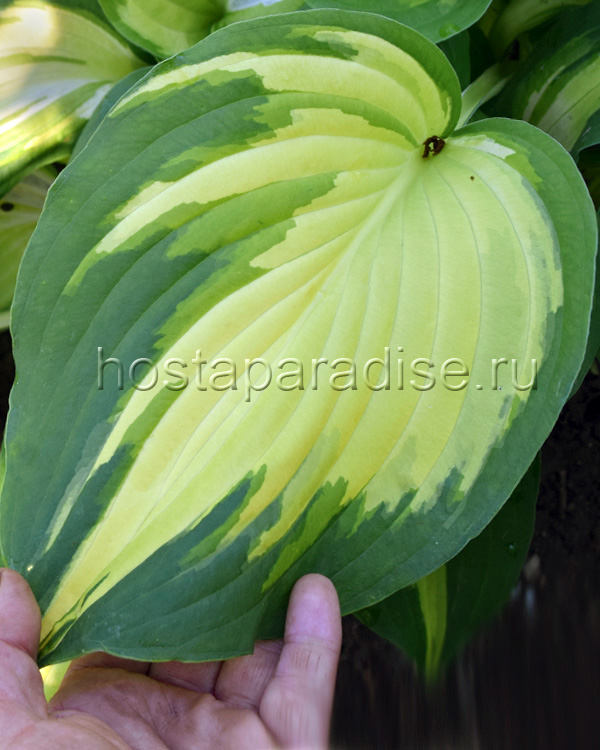"Hosta  ""Morning Light"""