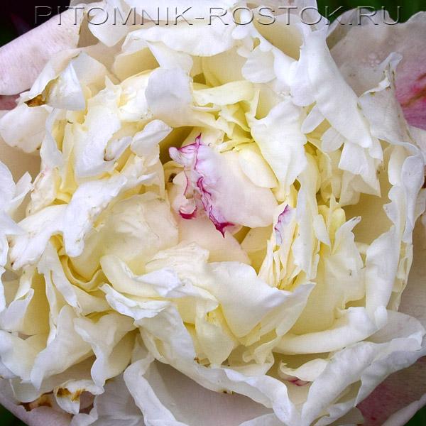 Пион молочноцветковый Мистер Фрагот  - Paeonia lactiflora Mr. Fragot