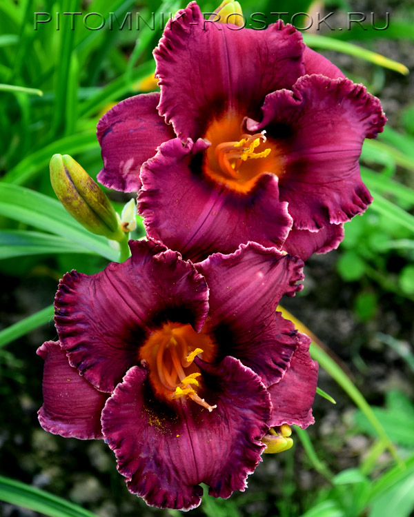 "Hemerocallis  ""Night Whispers"""
