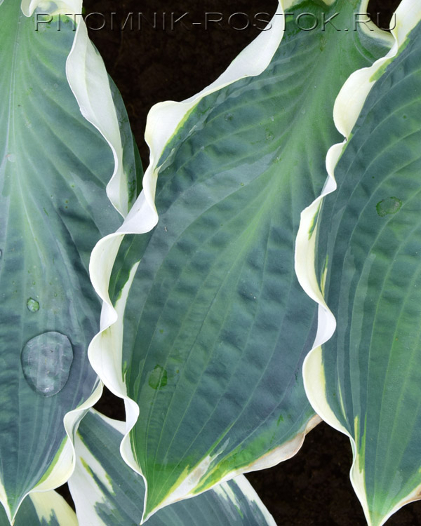 Hosta Orion's Belt