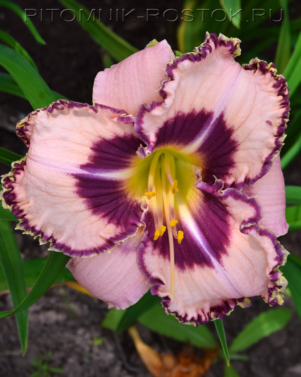 Hemerocallis Purple Flame