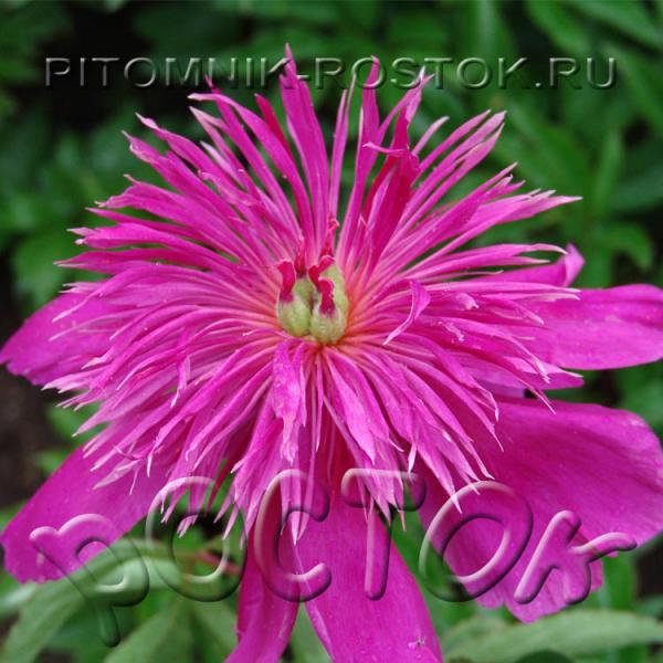 Paeonia lactiflora Purple Spider