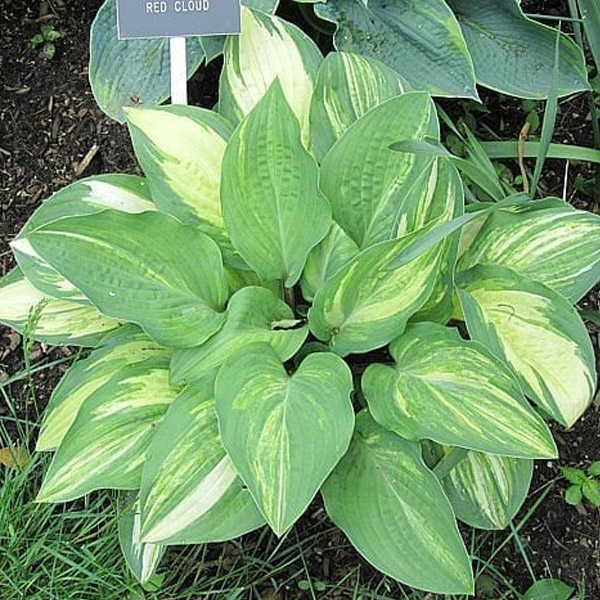 Hosta ' Red Cloud '