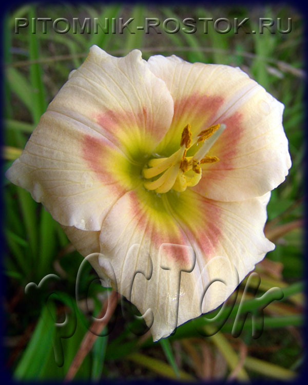 "Hemerocallis  ""Siloam Ethel Smith"""