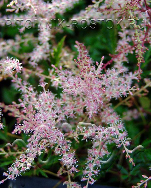 Astilbe simplicifolia Sprite