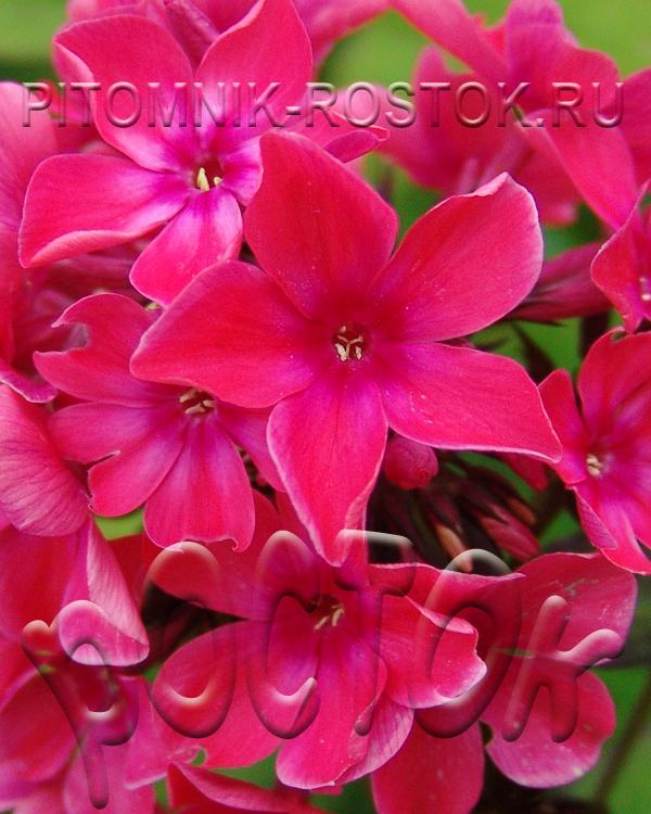 Phlox paniculata Samanta Smith