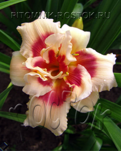 "Hemerocallis  ""Forty Second Street"""