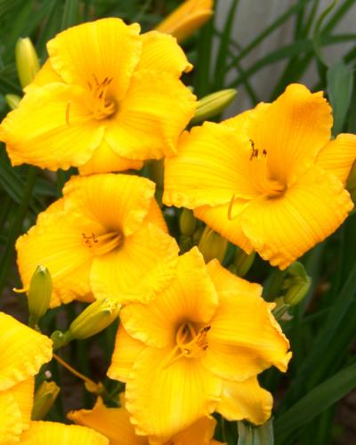 Hemerocallis Bakabana