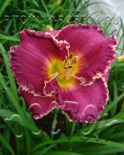 "Hemerocallis  "" Bettylen"""