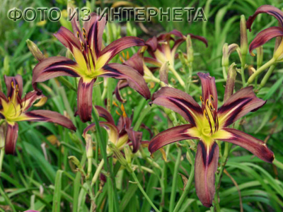 Hemerocallis Black Arrowhead