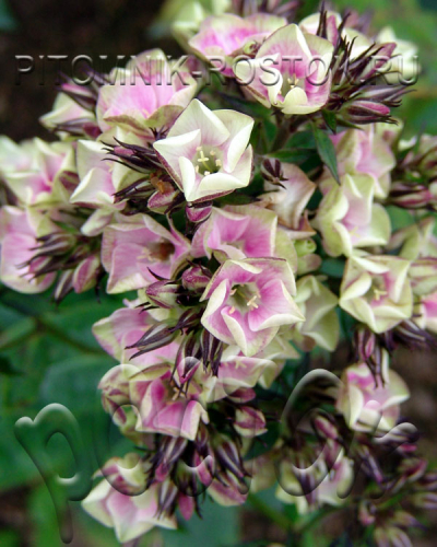 "phlox paniculata ""Neon® Bold and Beautiful"