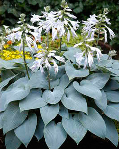 Hosta ' Bulletproof '