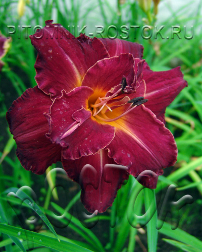 Hemerocallis Burgundy Love