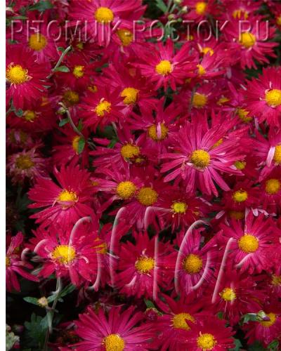 Корейская грунтовая садовая хризантема  МАЛЬЧИШ - КИБАЛЬЧИШ