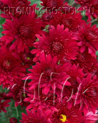 """Корейская садовая хризантема """"Липстик"""""""