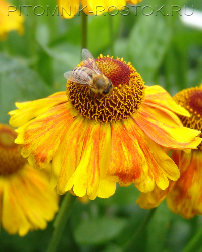 """Helenium autumnale """"Can Сan"""""""
