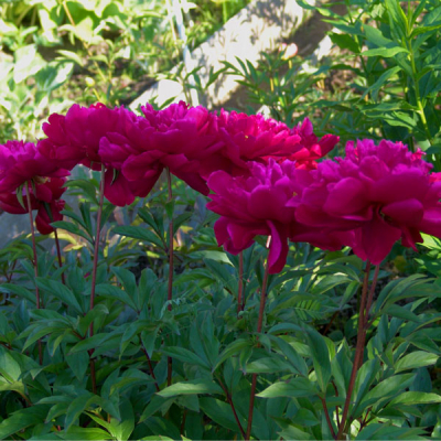 Пион молочноцветковый Karl Rosenfield