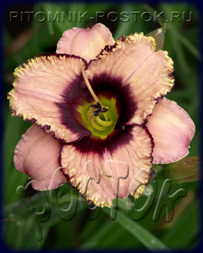 "Hemerocallis  ""Daring Dilemma"""