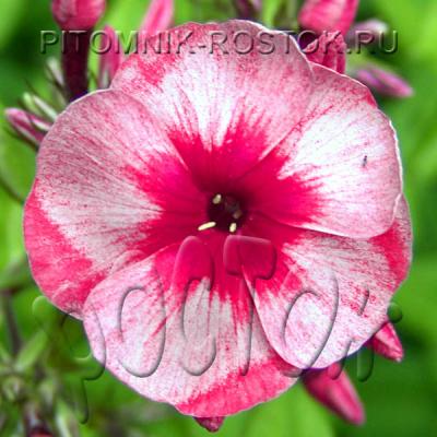 "phlox paniculata ""Stars and Stripes ®"""
