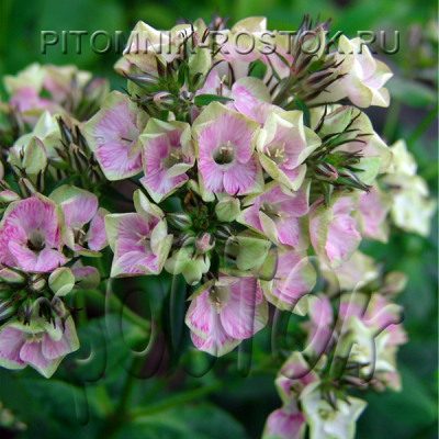 "phlox paniculata ""Neon® Bold and Beautiful"""