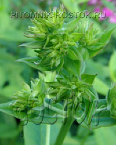 Green Lady ®