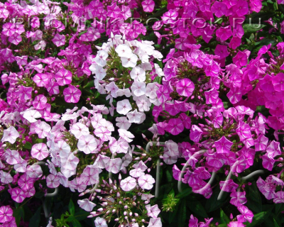"phlox paniculata ""Freckle® Purple Shades"""