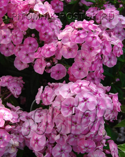 "phlox paniculata ""Younique® Old Pink"""