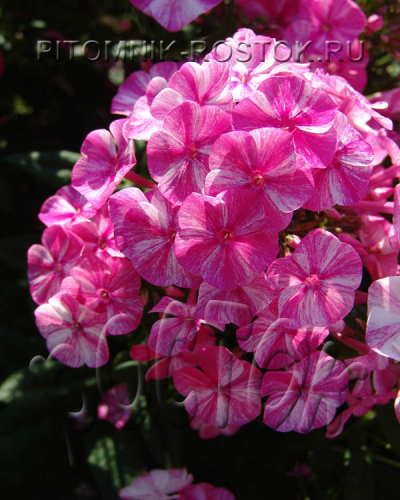 "phlox paniculata "" Freckle® Red Shades"""
