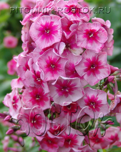"phlox paniculata ""Stars and Stripes ®"""