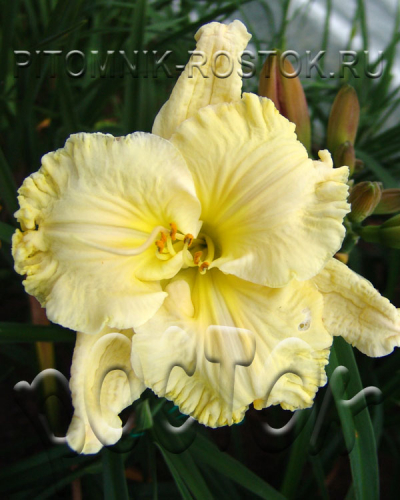 Hemerocallis  Finders Keepers