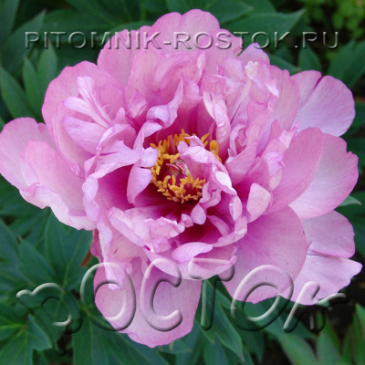 Paeonia Itoh First Arrival