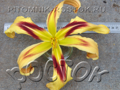 Hemerocallis Free Wheelin