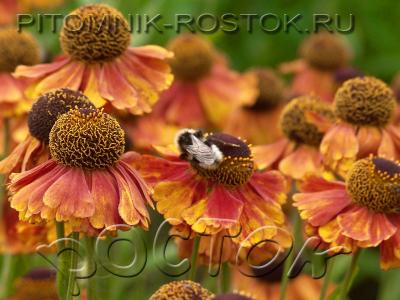 "Helenium autumnale ""Flammendes Käthchen"""