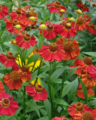 "Helenium autumnale ""Moerheim Beauty"""