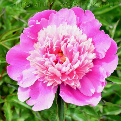 Пион молочноцветковый Гей Пари - Paeonia lactiflora Gay Paree
