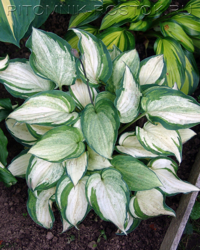 "Hosta  ""Ghost Spirit"""