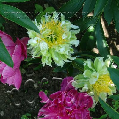 Paeonia lactiflora Green Halo