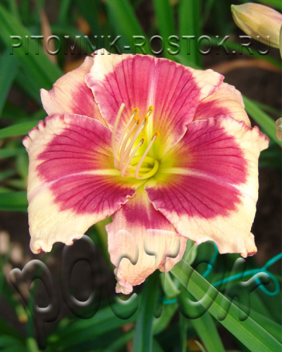 Hemerocallis  Hello Screamer
