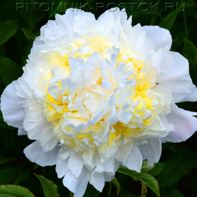 Paeonia lactiflora Honey Gold