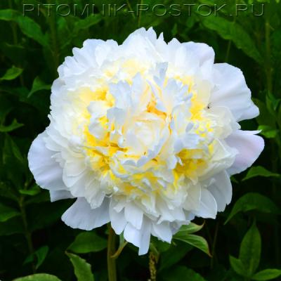 молочноцветковый пион Хани Голд