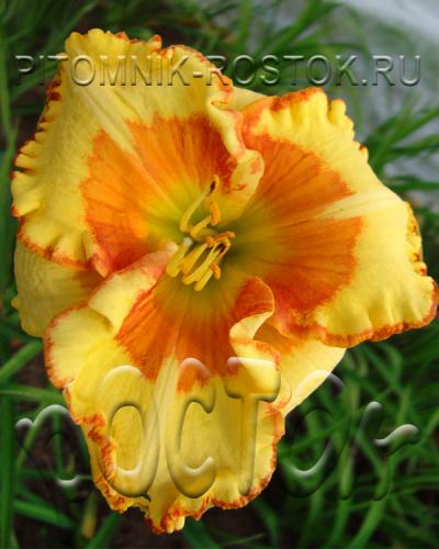 Hemerocallis  Irresistble Charm