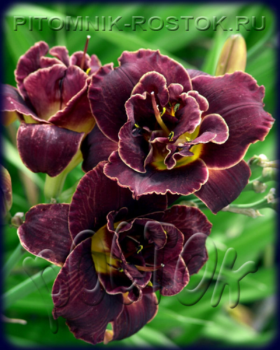 "Hemerocallis  ""Night Embers"""