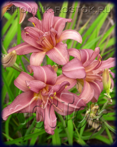"Hemerocallis  ""Double Challenge"""
