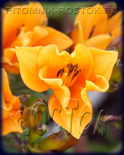 "Hemerocallis  ""Golden Chimes"""