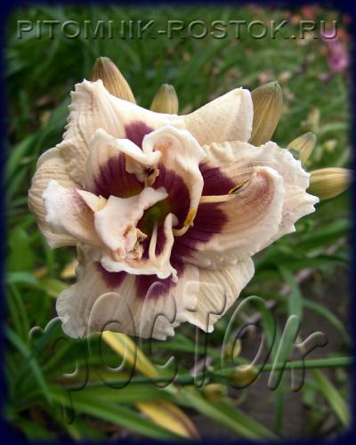 """Hemerocallis  """"Roswitha"""""""