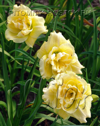 "Hemerocallis  ""Forever Young"""